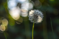 Dandelion. (agnieszka.a.morawska) Tags: spring manuallens manualfocus dandelion nature dof bokeh bkhq beyondbokeh bokehlicious helios helios44m
