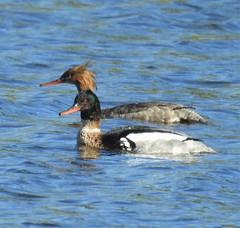 Pair of Red-Breasted Mergansers - Hauxley (Gilli8888) Tags: hauxley northumberland nikon p900 coolpix wildlife birds countryside water wetlands waterbirds pair two merganser redbreastedmerganser