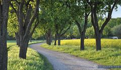 Niederöstereich Weinviertel Seebarn_DSC1050A (reinhard_srb) Tags: niederöstereich weinviertel seebarn frühling sonne abend ambiente raps allee bäume birnbaum gelb schein stimmung weg spaziergang