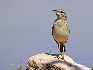 Bisbita campestre (Anthus campestris) (26)