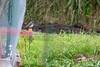 Lazuli Bunting (Passerina amoena) (Mason Flint) Tags: amniota animalia aves avilalae bird cardinalidae cardinalsgrosbeaksandallies chordata eumaniraptora geographicplaceincludingtown kingcounty location lazulibunting marymoorpark neognathae neornithes northamerica passeriformes passerinaamoena redmond sauropsida teleostomi tetrapoda usa washington animals birds city countryetc county