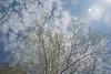 Birch unfolding new leaves (atranswe - working in the garden) Tags: dsc4218 sweden sverige västernorrland ångermanland kramfors busstation latn62°92843lone17°78629 sky himmel tree träd birch björk newleaves nyalöv blue blå clouds moln nature atranswe