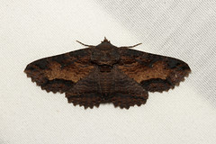 Zale lunata (Lunate Zale Moth) - Hodges # 8689 - WA, USA (Nick Dean1) Tags: animalia arthropoda arthropod hexapoda hexapod insect insecta lepidoptera moth washington everett