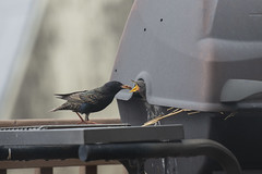 Baby Birds in the BBQ I (JasonCameron) Tags: black bird starling nest bbq suburban feed eat food mouth nature natural