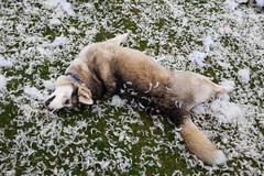 London (jaumescar) Tags: funny dog pillow fight london england unitedkingdom animal play fun ground texture weird street husky upsidedown park pic
