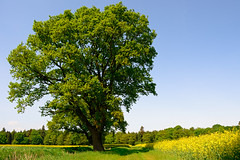 Oak Tree (Tom_Edwards05) Tags: geotagged geo:lat=5312546585 wildlife nature nikon d5200 2018 may lincolnshire tumby old oak tree field spring sunny sunshine green leaves tom edwards tomedwards05 tomedwards afs dx vr zoomnikkor 1855mm f3556g