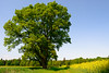 Oak Tree (Tom_Edwards05) Tags: geotagged geo:lat=5312546585 wildlife nature nikon d5200 2018 may lincolnshire tumby old oak tree field spring sunny sunshine green leaves tom edwards tomedwards05 tomedwards afs dx vr zoomnikkor 1855mm f3556g