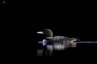 Common loon - Plongeon huard - Gavia immer