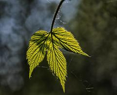 leaf (keith ellwood) Tags: flora nature plants leaf leaves close focus light contrast