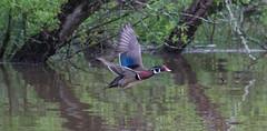 Wood Duck-2 (Lee J2) Tags: woodduck pond peacevalleypark buckscounty pennsylvania