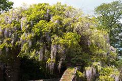 Wisteria Cascade 0295 (Thorbard) Tags: garden nationaltrust nymans spring spring2018 wisteria sussex westsussex canonefs1585mmf3556isusm flower flowers