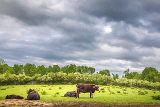 Four Cows.jpg