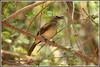 7884 - white browed bulbul (chandrasekaran a 50 lakhs views Thanks to all.) Tags: whitebrowedbulbul bulbul birds nature india chennai canoneos6dmarkii tamronsp150600mmg2