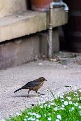 movingfauvette (YassChaf) Tags: paris birds wildbirds oiseaux urbanbirds citybirds