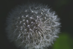 Dandy Drama (hmthelords) Tags: