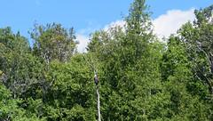 How does one get an eagle to pose? (RockN) Tags: baldeagle camerashy stjohnriver august2016 grandfalls newbrunswick canada