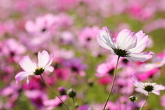 IMG_3541M Cosmos (陳炯垣) Tags: nature petal flower cosmos コスモス