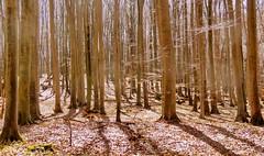 Nationalpark Jasmund/Rügen (Wunderlich, Olga) Tags: bäume tier reh laub schatten licht rügen insel mecklenburgvorpommern natur landschaft