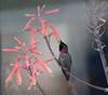 Anna's Hummingbird (Calypte anna) (Susan Jarnagin) Tags: bird cochisestronghold annashummingbird hummingbird calypteanna cochisecounty az arizona