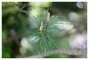 Kiefernzweig (h.ullrich) Tags: helios 442 258 m42 natur pflanze baum ast zweig grün macro detail nahaufnahme bokeh