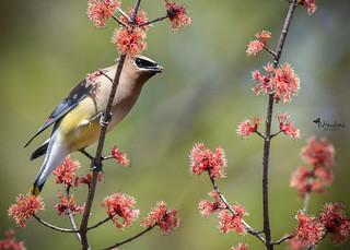 Cedar Waxwing a photogenic bird!