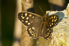 Waldbrettspiel (Pararge aegeria) (kalakeli) Tags: butterflies schmetterlinge waldbrettspiel parargeaegeria speckledwood rieselfeldermünster april 2018