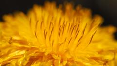 Spring Fandango (jurgenkubel) Tags: blomma bl¨te blume flower taraxacum maskros löwenzahn dandelion macro makro vår spring frühling flowerpower