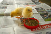 Posing... (Maria Godfrida (absent for a while)) Tags: fauna animals chickens chicks two couple pair cute fluffy 7dwf