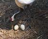 Over Easy (Dave Lawler) Tags: chancyrendezvous davelawler blurgasm redcrowned crane bird nest eggs parental grusjaponensis redcrownedcrane japanesecrane manchuriancrane nesting incubate incubating clutch