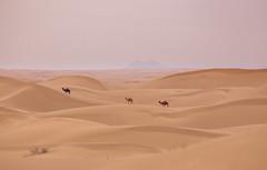Dasht e Kavir (Andres Pela) Tags: iran desierto desert asia camel camellos oriente travel viajar canon landscape paisaje kashan sunset atardecer 6d