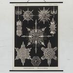 Sea Urchins thumbnail
