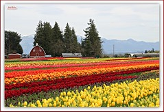 a riot of color! (MEA Images) Tags: tulips flowers fields gardens parks blooms flora nature barns mountains trees skagitvalleytulipfestival tuliptown mountvernon washington canon picmonkey