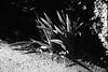 葉 (frenchvalve) Tags: 葉 leaves monochrome bnw film analog