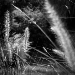 BRUSHTAIL (LA GRANDE TERRE) Tags: bw blackwhite canon efs1855mmf3556isii eos1300d flowers monochrome naia newcaledonia nouvellecaledonie paita photoshopcc plants provincesud southprovince stems
