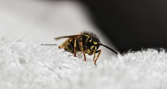 Wasp :) (John Campbell 2016) Tags: wasp insect bug sting wings yellow black yellowandblack colourful colour viciousweethings antenna macrophotography macro closeup canon1300d canonphotography sigma75300lens