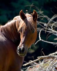 Tangled (misst.shs) Tags: northidaho sandpoint idaho slr horses colt arabian equine nature animal