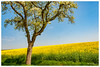 Colza en pente douce (Pascale_seg) Tags: landscape paysage country countryscape champ field colza jaune yellow arbre tree sky ciel bleu blue printemps spring moselle lorraine france nikon campagne