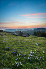 Spring (schuetz.photography) Tags: swiss swissalps switzerland mountain schweiz emmental alps hills spring sunset blue hour crocus flower frühlinggreen sony a7 a7rm2 a7rmii ilce 24105mm krokus