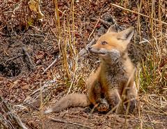Red Fox (jerryherman1) Tags: kit northtract patuxentnwr redfox nature nikor200500f56 nikond500 maryland mallard wildlife