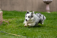 Mid Chase (Kenjis9965) Tags: canoneos7dmarkii canon70200f28l cardigan welsh corgi fluffy fluff blue merle running outside playing saturated movement summer canon eos 7d mark ii 70200mm f28l is usm grass