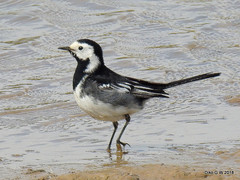 Pied Wagtail (Diko G.W.) Tags: flambrough thornwickpools piedwagtail nikonp900 eastyorkshire