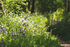 Stichwort Path (oandrews) Tags: bluebells canon canon70d canonuk flora flower greaterstitchwort hyacinthoidesnonscripta nature naturereserve northamptonshire northants outdoors plant plants shortwood shortwoodandsouthwickwood wildlifetrusts woodland woods southwick england unitedkingdom gb