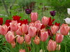 Bulbs are blooming in my garden now. (lovesdahlias 1) Tags: bulbs flowers blossoms gardens nature spring newengland