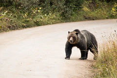 Grizzly Boar on Road (GrandTetonNPS) Tags: grizzly bear mammal grandteton nationalpark animal