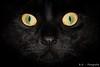 Buffy (R.O. - Fotografie) Tags: buffy katze cat nahaufnahme closeup close up augen eyes miau black schwarz rofotografie tier animal indoor panasonic lumix dmcfz1000 dmc fz1000 fz 1000 portrait action