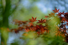 maple leaves (kderricotte) Tags: japanesemaple garden park meadowlarkbotanicalgardens bokeh depthoffield tree sony sonya7ii ilce7m2 sel85f18 sonyfe85mm18