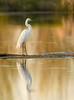 Great egret (rick2907) Tags: greateagret goldenlight