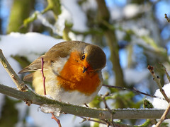 Looking at me (Lexie's Mum) Tags: snow cold winter december2017 ice tree branch branches robin bird robinredbreast