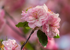 Apple Tree (mclcbooks) Tags: crabapple apple tree flower flowers floral macro closeup blossoms blooms spring denverbotanicgardens colorado