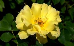 Rose (Rosa)_001 (by emmeci) Tags: rosa monzavillarealerosery flower